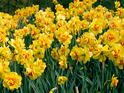 Daffodils Web