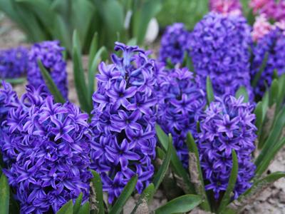 Hyacinth Web