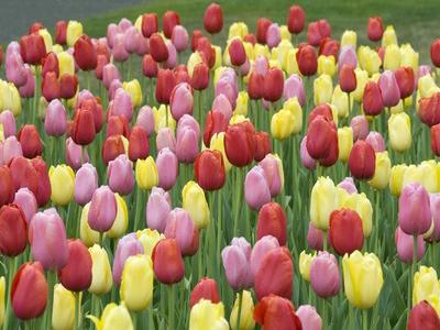 Tulips Web